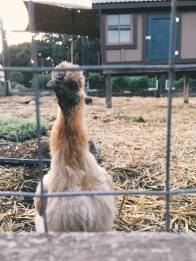 The chickens on the farm that services Thomas Keller's Yountville restaurants